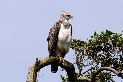 Martial Eagle - Polemaetus bellicosus - Aberdares NP -D800 2017-10-23-257CE.jpg
