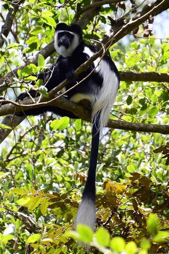 Mau Forest Guereza - Colobus guereza matschiei - Kakamega NP Kenya - D800 2017-10-31-214CE.jpg