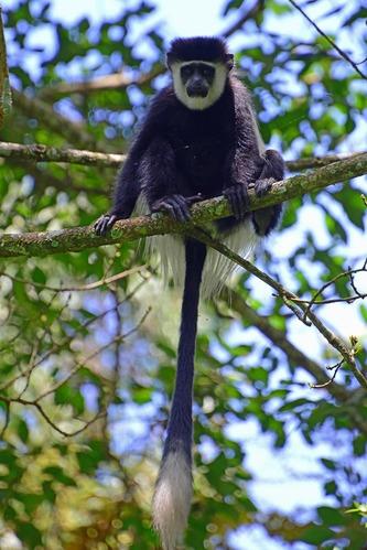 Mau Forest Guereza - Colobus guereza matschiei - Kakamega NP Kenya - D800 2017-10-31-226CE.jpg