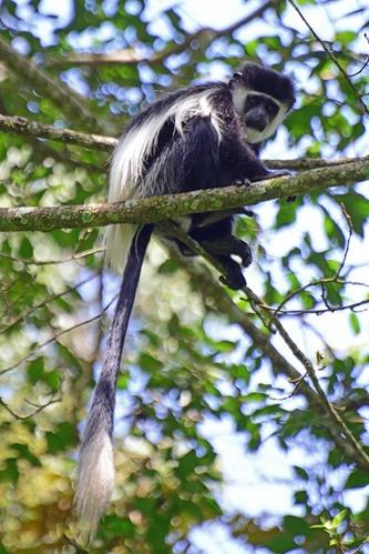 Mau Forest Guereza - Colobus guereza matschiei - Kakamega NP Kenya - D800 2017-10-31-231CE.jpg