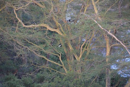 Mau Forest Guereza - Colobus guereza matschiei - Lake Navashia NP - D5200 270 11-6-14.jpg