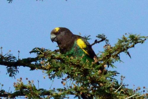 Meyers Parrot - Poicephalus meyeri - Ol Pejeta Conservancy Kenya - D800 2017-10-28-602CE.jpg