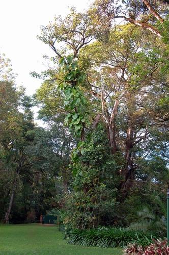 Monstera Deliciosa - Split-leaf Philodendron - Kakamega NP Kenya - D2X 2017-10-31-075CE.jpg