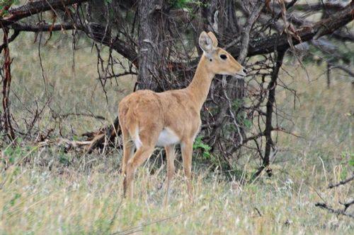 Mountain Reedbuck - Redunca fulvorufula - Serengeti NP Tanzania D800 085 11-15-14CE.jpg