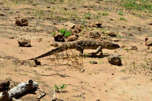Nile Monitor - Varanus niloticus - Tarengire NP Tanzania D800 199 11-21-14CE.jpg