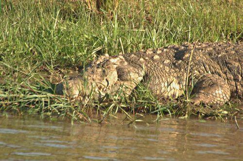 Nile crocodile - Crocodylus niloticus - Masai Mara NP Kenya - D2X 065 11-8-14E.jpg