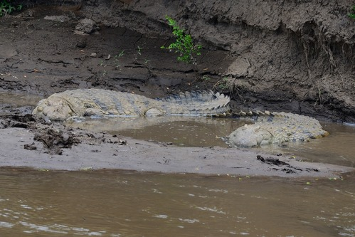 Nile crocodile - Crocodylus niloticus - Masai Mara NP Kenya - D800 2017-11-02-055CE.jpg