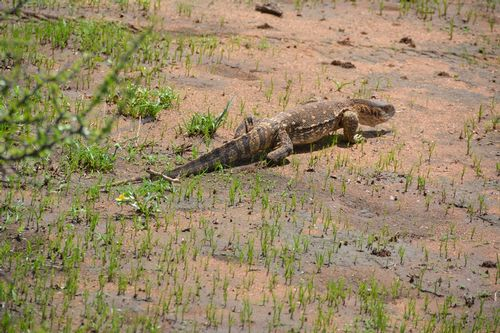 Nile monitor - Varanus niloticus - Tarengire NP Tanzania D2X 076 11-21-14CE.jpg
