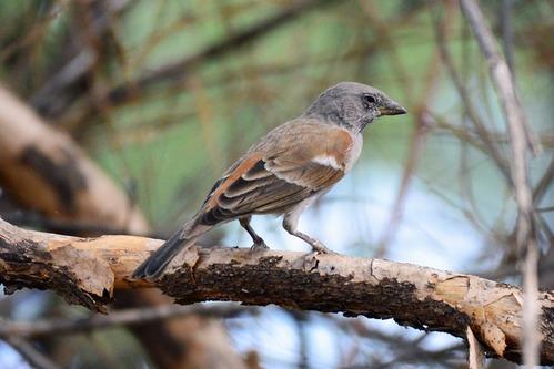 Northern Grey-headed Sparrow - Passer griseus - Lake Manyara NP - D800 2017-11-13-540CE.jpg
