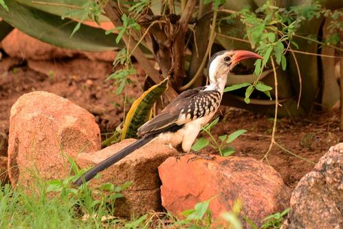 Northern Red-billed Hornbill - Tockus erythrorhynchus - Samburu NP Kenya D800 2017-10-24-190CE.jpg