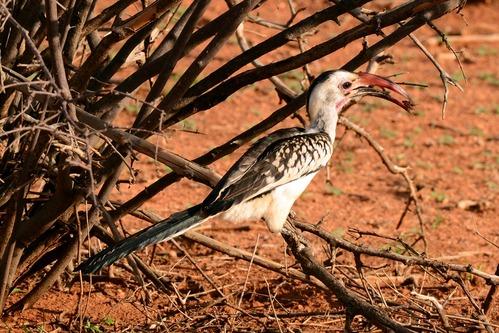 Northern Red-billed Hornbill - Tockus erythrorhynchus - Samburu NP Kenya D800 2017-10-24-252CE.jpg