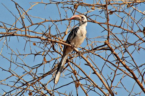 Northern Red-billed Hornbill - Tockus erythrorhynchus - Tarangire NP D2X 029 11-22-14CE.jpg