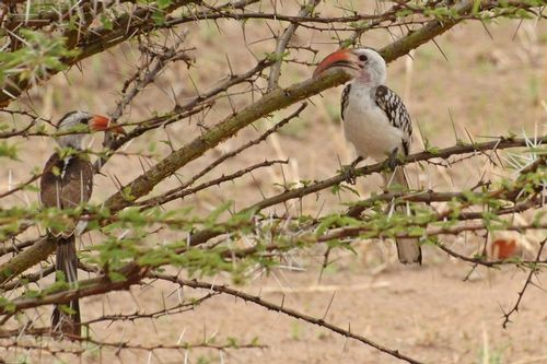 Northern Red-billed Hornbill - Tockus erythrorhynchus - Tarengire NP D2X 053 11-20-14CE.jpg