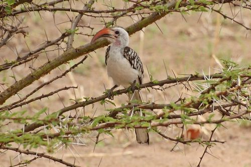 Northern Red-billed Hornbill - Tockus erythrorhynchus - Tarengire NP D2X 055 11-20-14CE.jpg