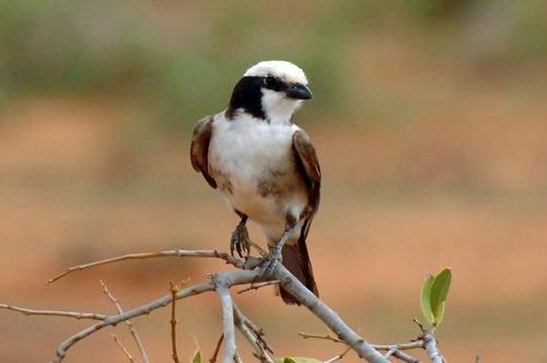 Northern White-crowned Shrike - Eurocephalus rueppelli - Samburu NP-D2X 2017-10-24-023CE.jpg