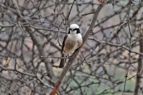 Northern White-crowned Shrike - Eurocephalus rueppelli - Tarengire NP D800 348 11-21-14CE.jpg
