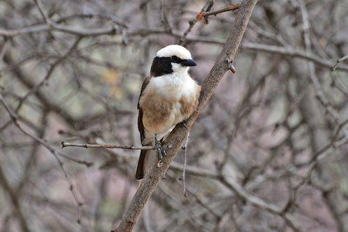 Northern White-crowned Shrike - Eurocephalus rueppelli - Tarengire NP D800 350 11-21-14CE.jpg