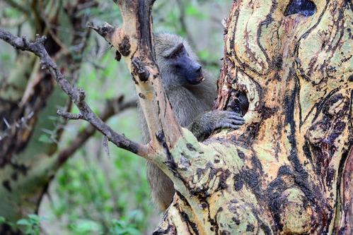 Olive Baboon - Papio Anubis - Lake Manyara NP Tanzania - D800 2017-11-13-577CE.jpg