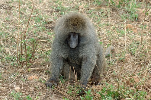 Olive Baboon - Papio anubis - Ngorongoro NP Tanzania - D2X 2017-11-11-058CE.jpg