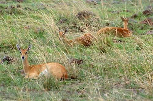 Oribi - Ourebia ourebi - Masai Mara NP Kenya - D2X 2017-11-02-115CE.jpg