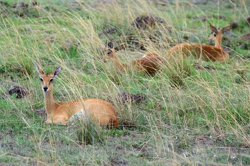 Oribi - Ourebia ourebi - Masai Mara NP Kenya - D800 2017-11-02-063CE.jpg