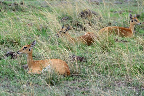 Oribi - Ourebia ourebi - Masai Mara NP Kenya - D800 2017-11-02-070CE.jpg