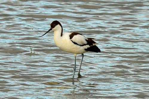 Pied Avocet - Recurvirostra avosetta - Lake Manyara NP Tanzania - D800 2017-11-13-063CE.jpg