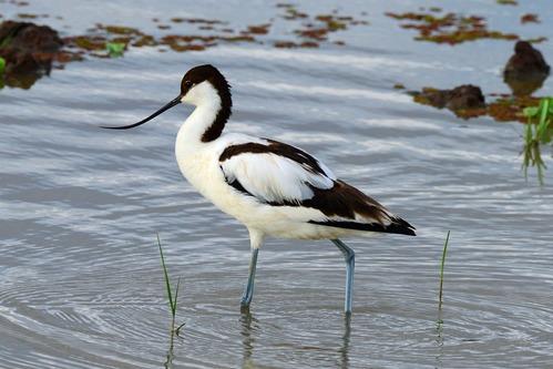 Pied Avocet - Recurvirostra avosetta - Lake Manyara NP Tanzania - D800 2017-11-13-077CE.jpg