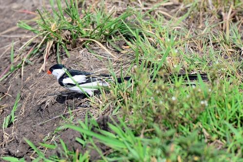 Pin-tailed Whydah - Vidua macroura - Ruma NP Kenya - D800 2017-11-01-137CE.jpg