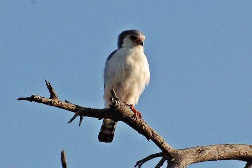 Pygmy Falcon - Polihierax semitorquatus - Tarangire NP Tanzania D2X 005 11-22-14CE.jpg