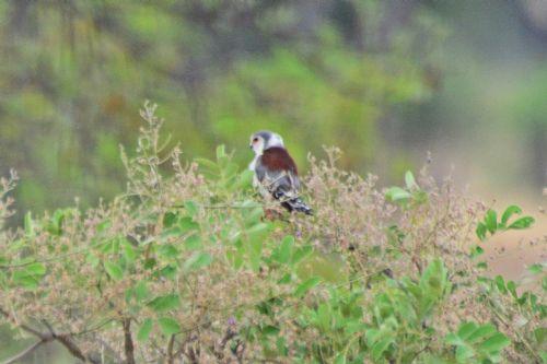 Pygmy Falcon - Polihierax semitorquatus - Tarengire NP Tanzania D800 037 11-20-14CE.jpg