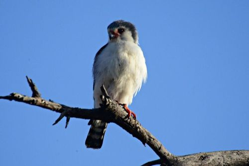 Pygmy Falcon - Polihierax semitorquatus - Tarengire NP Tanzania D800 060 11-22-14CE.jpg