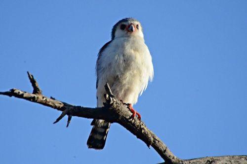 Pygmy Falcon - Polihierax semitorquatus - Tarengire NP Tanzania D800 063 11-22-14CE.jpg