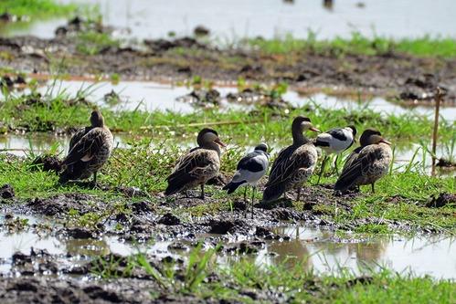 Red-billed Duck - Anas erythrorhyncha - Lake Manyara NP Tanzania - D800 2017-11-12-152CE.jpg