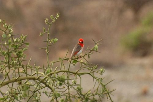 Red-headed Weaver - Anaplectes rubriceps - Tarengire NP Tanzania D2X 318 11-20-14CE.jpg