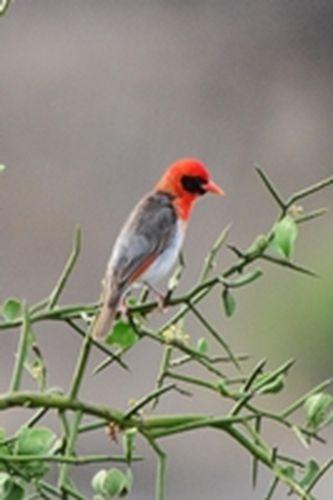 Red-headed Weaver - Anaplectes rubriceps - Tarengire NP Tanzania D800 317 11-20-14CE.jpg
