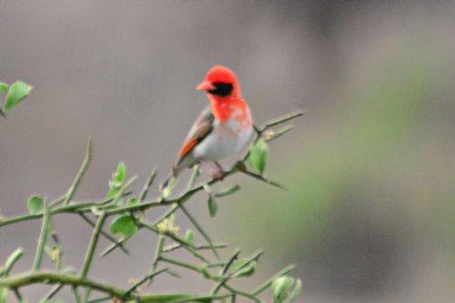 Red-headed Weaver - Anaplectes rubriceps - Tarengire NP Tanzania D800 323 11-20-14CE.jpg