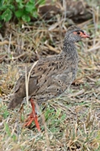 Red-necked Francolin - Francolinus afer - Serengeti NP Tanzania D800 162 11-15-14CE.jpg