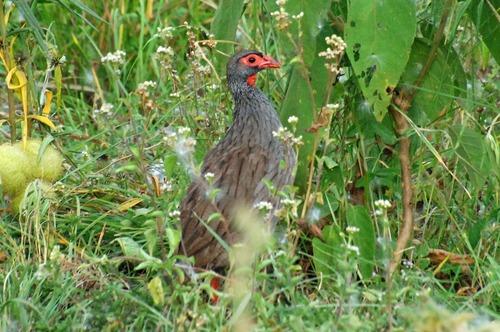 Red-necked Francolin - Pternistis afer cranchii - Ruma NP Kenya - D2X 2017-11-01-129CE.jpg