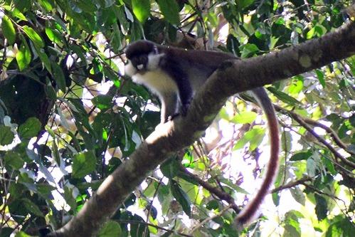 Red-tailed Monkey - Cercopithecus ascanius - Kakamega NP Kenya - D800 2017-10-31-121CE.jpg