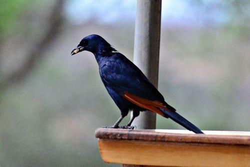 Red-winged Starling - Onychognathus morio - Tarengire NP Tanzania D800 336 11-21-14CE.jpg