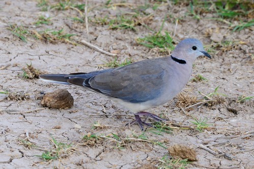 Ring-necked Dove - Streptopelia capicola - Amboseli NP Kenya D800 2017-11-17-853CE.jpg