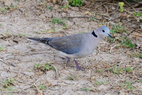 Ring-necked Dove - Streptopelia capicola - Amboseli NP Kenya D800 2017-11-17-854CE.jpg