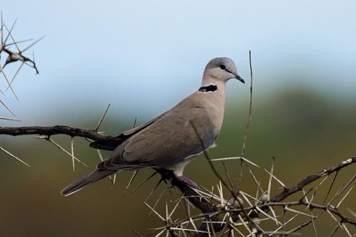 Ring-necked Dove - Streptopelia capicola - Ruma NP Kenya - D800 2017-11-01-084CE.jpg