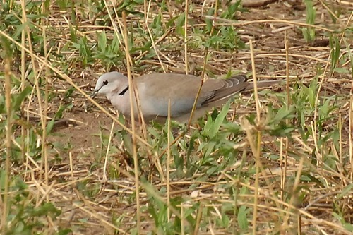 Ring-necked Dove - Streptopelia capicola - Tarengire NP Tanzania D2X 152 11-20-14CE.jpg