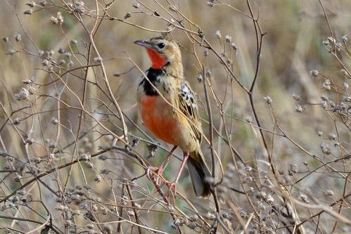 Rosy-throated Longclaw - Macronyx ameliae - Ngorongoro NP Tanzania - D800 2017-11-10-133CE.jpg
