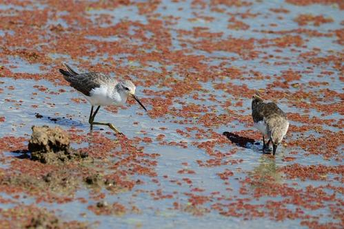 Ruff - Philomachus pugnax - Lake Manyara NP Tanzania - D800 2017-11-12-121CE.jpg