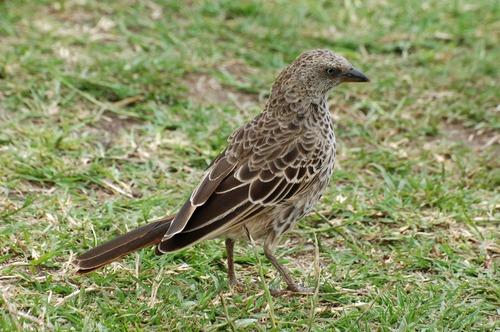 Rufous-tailed Weaver - Histurgops ruficaudus - Ngorongoro Tanzania - D2X 2017-11-10-146CE.jpg