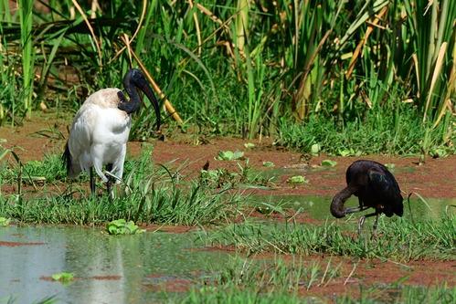 Sacred Ibis - Threskiornis aethiopicus  - Lake Manyara NP Tanzania - D800 2017-11-12-170CE.jpg