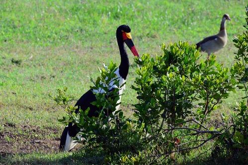 Saddle-billed Stork - Ephippiorhynchus senegalensis -  Ol Pejeta Kenya - D800 2017-10-28-575CE.jpg